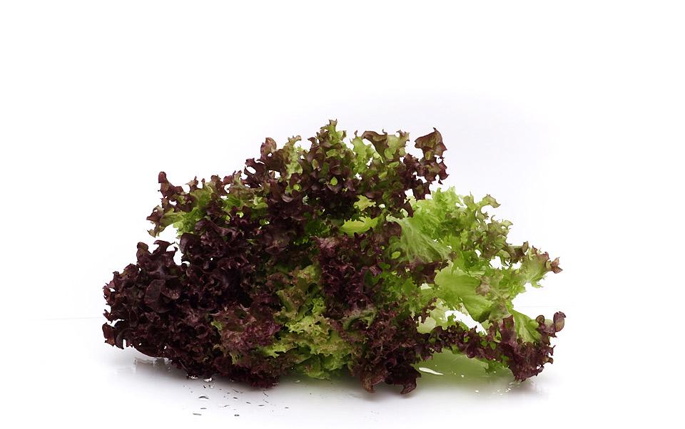 Lollo Rosso Salat von vorne